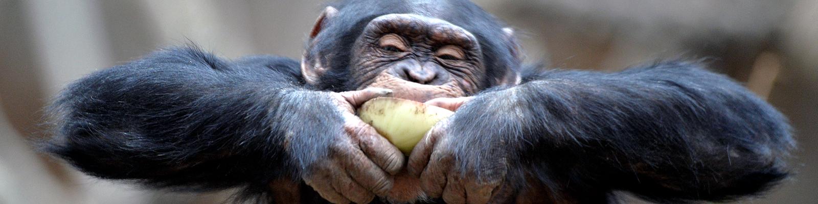 Ein Schimpanse beißt in eine Zwiebel.