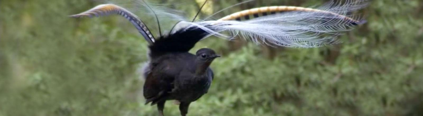 Ein schwarzer Vogel mit zwei langen Schwanzfedern zwischen denen viele weiße, fadenförmige Federn sind.