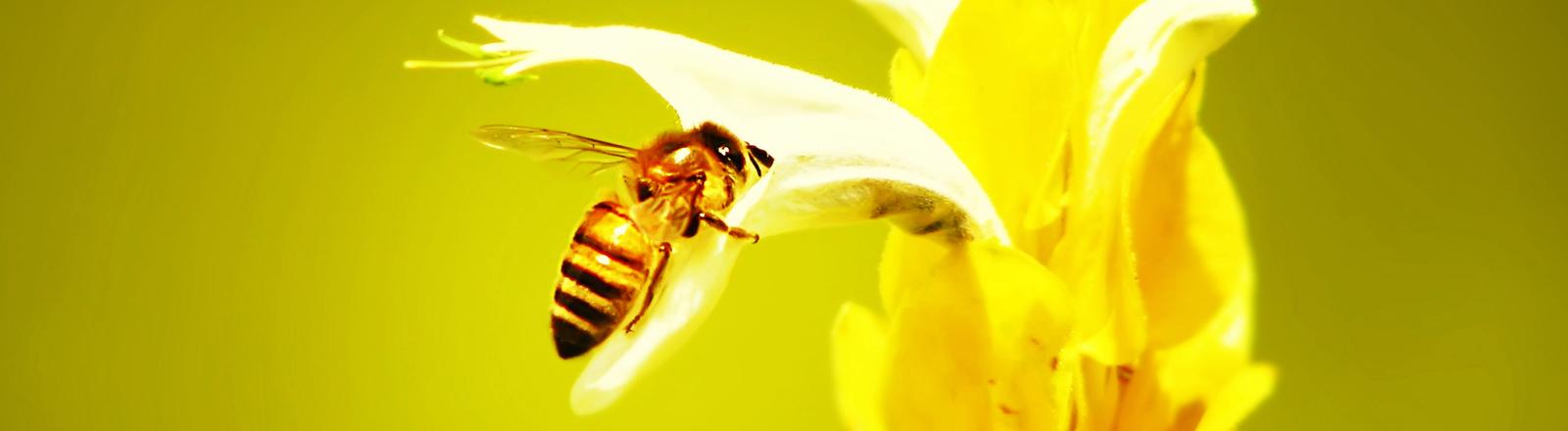 Eine Biene ist halb versteckt in einer Blüte, das Bild ist in Gelbtöne getaucht.