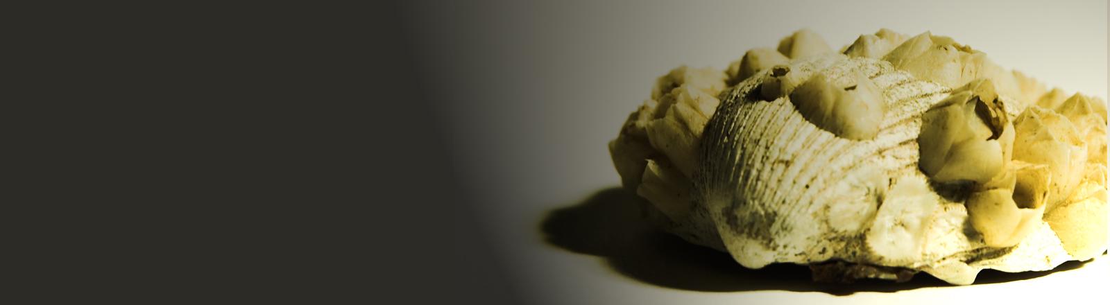 Eine helle Muschel mit Seepocken, diese ähneln kleinen Vulkankratern.