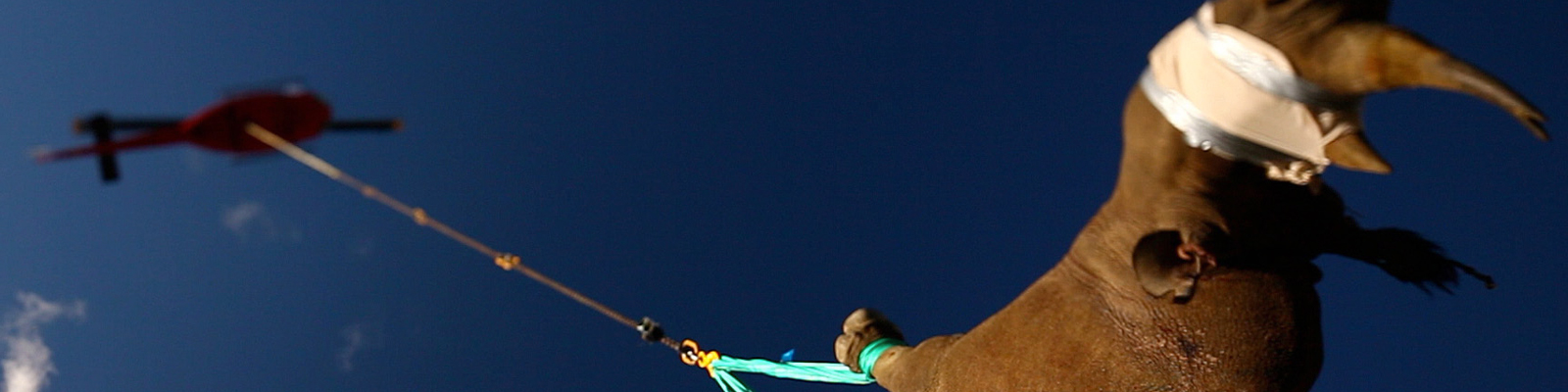 Ein Nashorn wird per Hubschrauber in ein neues Schutzgebiet in Südafrika transportiert. Das Horn der Nashörner ist sehr begehrt, es wird zu Pulver gemahlen und hat auf dem Schwarzmarkt einen Wert wie Gold.