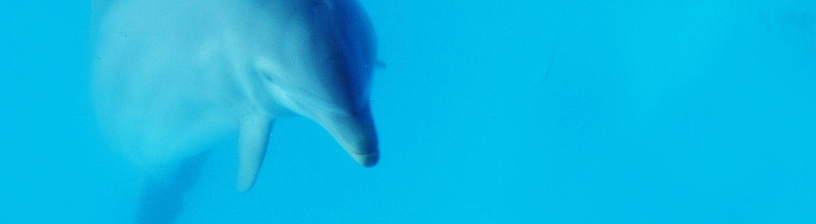 Ein Delfin unter Wasser, er schwimmt auf den Betrachter zu.