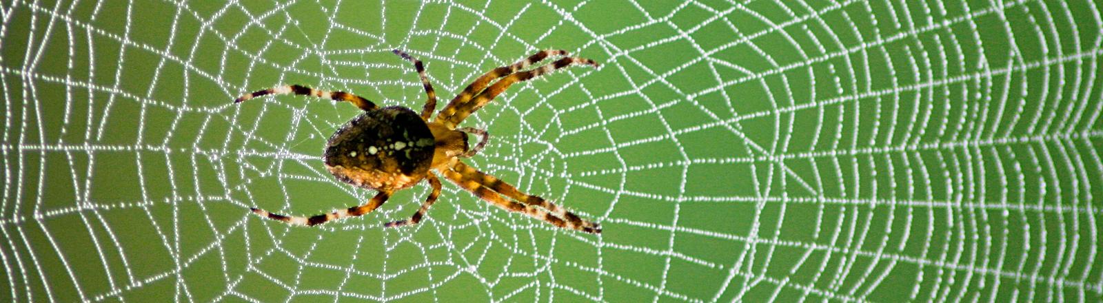 Eine schwarz-braune Spinne sitzt in ihrem Netz, vor grünem Hintergrund.