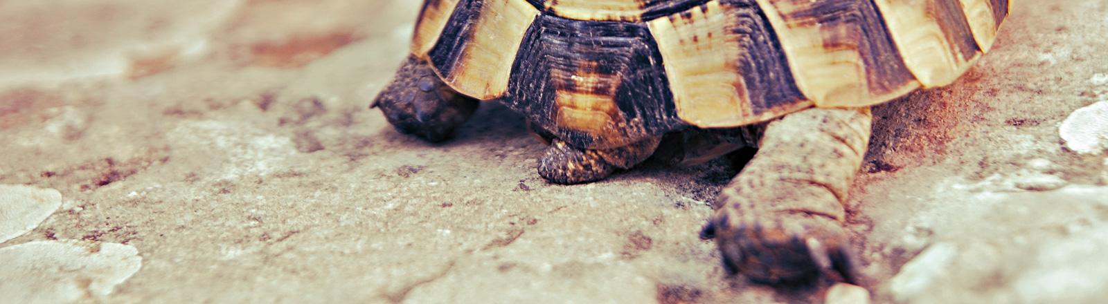 Eine Schildkröte bewegt sich über Erde. Der Ausschnitt zeigt ihren Panzer und ihr beiden Hinterfüße, der rechte ist ausgestreckt.