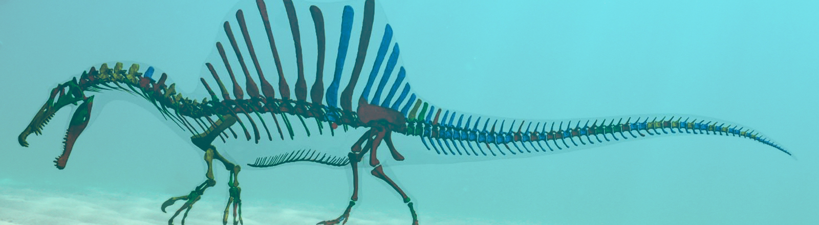 Das Bild zeigt eine digitale Darstellung des Skeletts des Spinosaurus. Der vor 95 Millionen Jahren lebende Spinosaurus war der größte jemals lebende Raubsaurier, der auch schwimmen konnte.