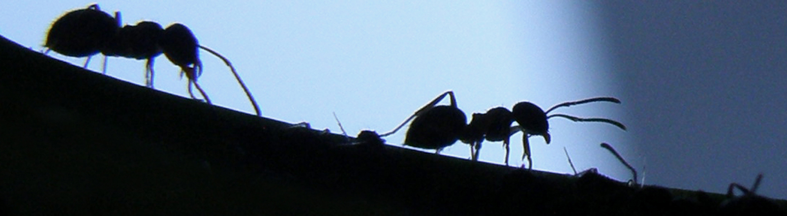 Zwei Ameisen im Gegenlicht