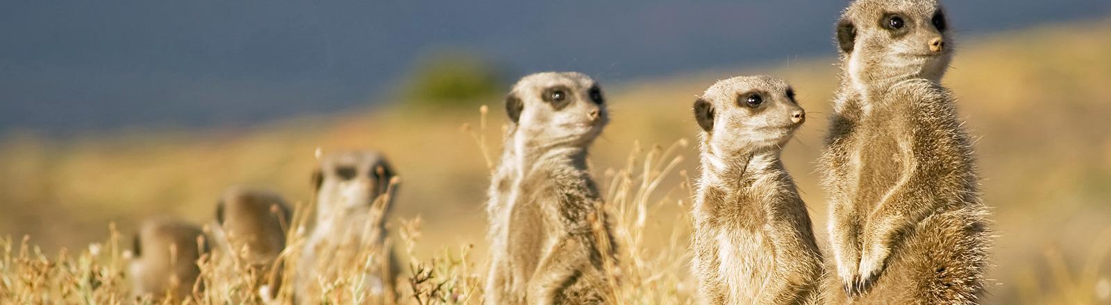 In der freien Natur stehen sechs Erdmännchen nebeneinander. Sie stehen auf ihren Hinterfüßen und schauen aufmerksam in die Gegend.