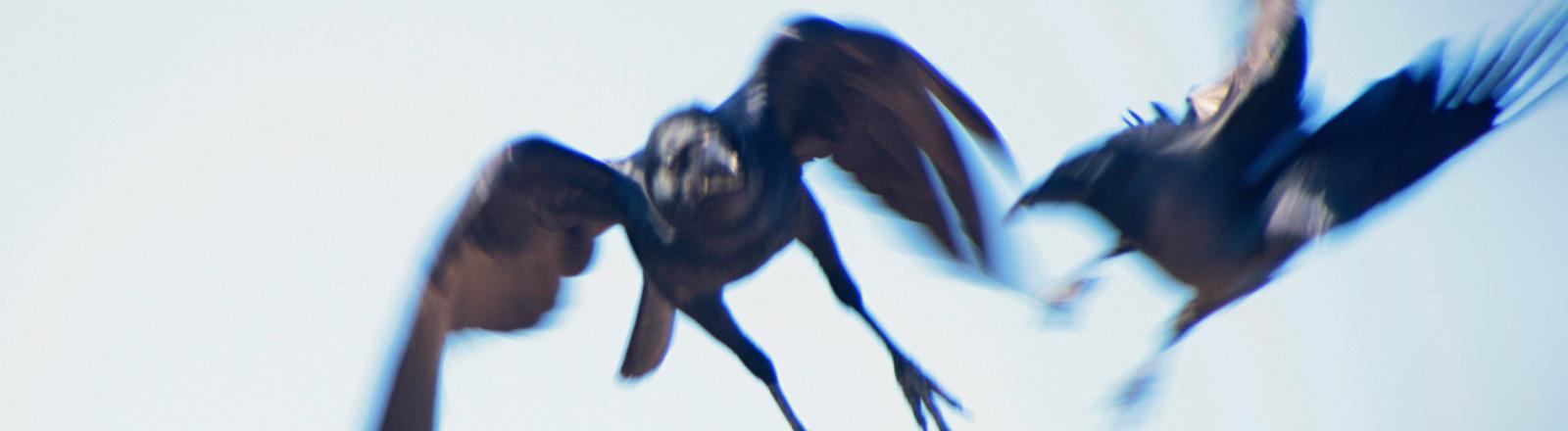 Zwei schwarze Vögel greifen sich in der Luft gegenseitig an.