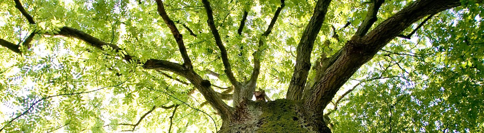 Die Baumkrone eines Baumes.