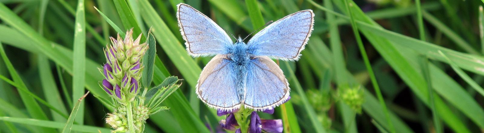 Ein blauer Schmetterling sitzt auf einer Wiese; Bild: dpa
