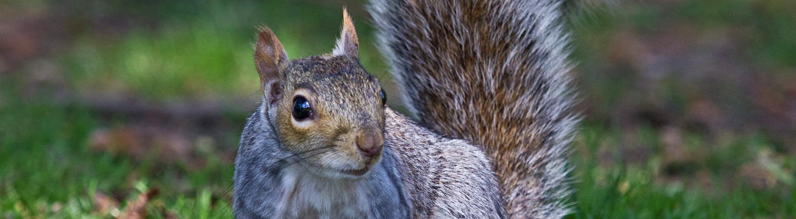 Ein Grauhörnchen sitzt auf einer Wiese; Bild: dpa