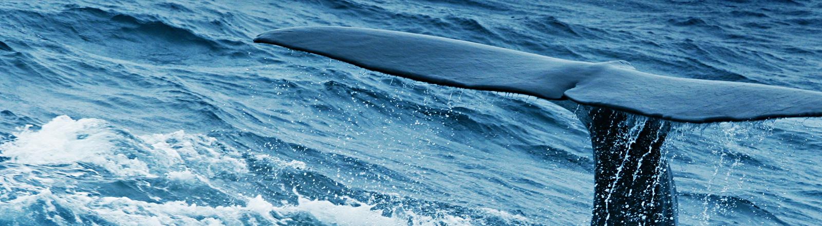 Die Schwanzflosse eines Wals schaut aus dem Meereswasser.