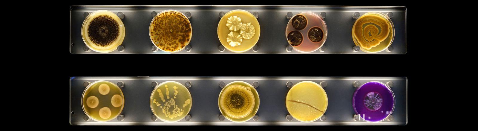 Eine Wand mit Petrischalen mit verschiedenen Mikroorganismen. In gelben, braunen und lila Tönen.