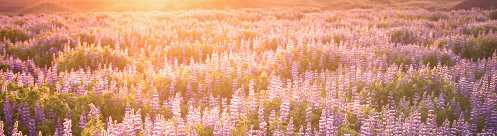 Eine Wiese voller Lupinen. Am Horizont geht die Sonne unter. Die letzten Sonnenstrahlen fallen auf die Blumen.