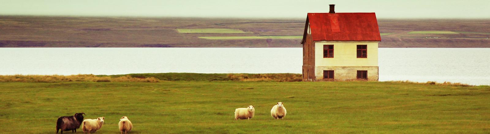 Ein einsames Haus in Island mit einigen Schafen auf der Wiese.