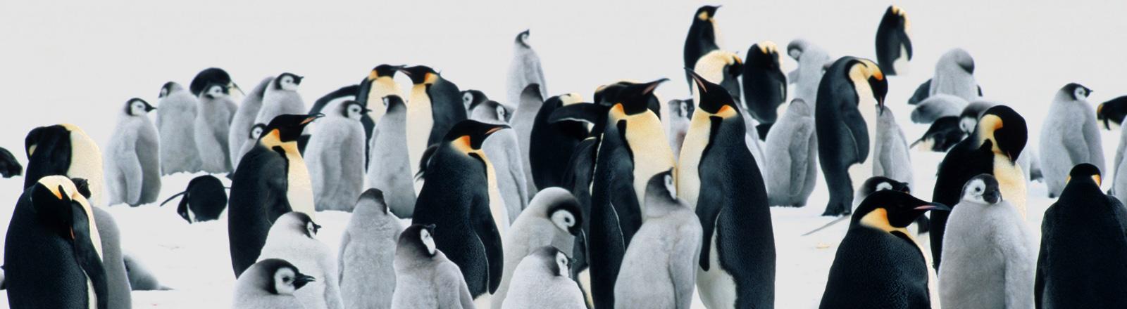 Eine Brutkolonie der Kaiserpinguine. Rund 40 Tiere stehen eng beieinander, darunter auch junge graue Tiere; Bild: dpa