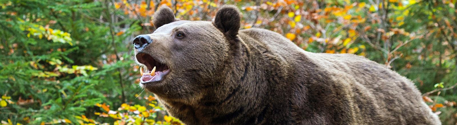 Ein Braunbär im Wald streckt seinen Kopf nach vorne und hat sein Maul geöffnet; Bild: dpa
