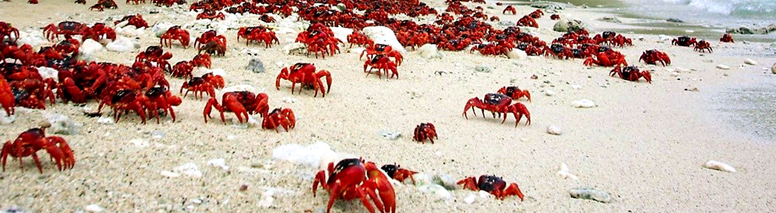 Die roten Krabben auf der Weihnachtsinsel