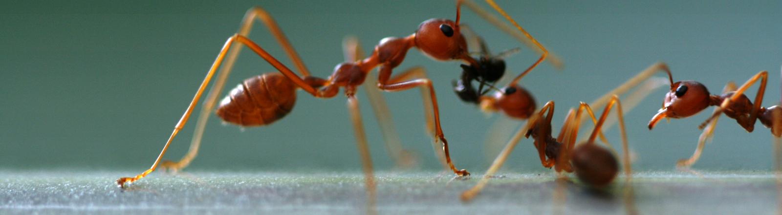 Rote Ameisen kümmern sich um Futter