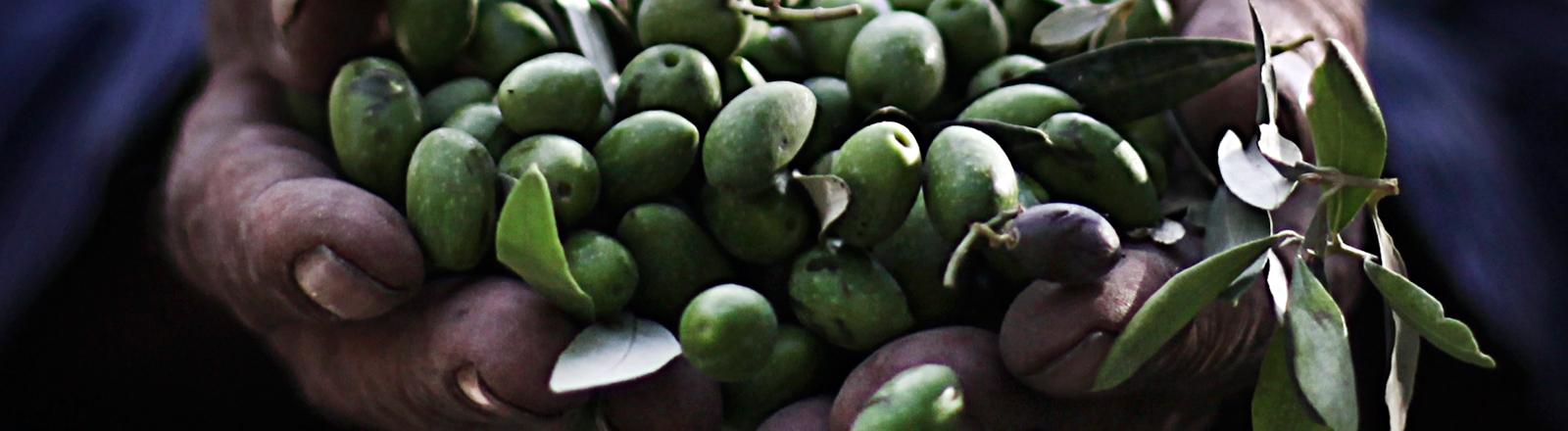 Ein Bauer hält geerntete Oliven in seinen Händen.