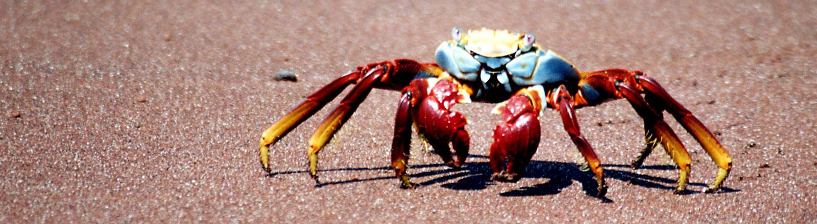 Eine Krabbe läuft einen Strand entlang.