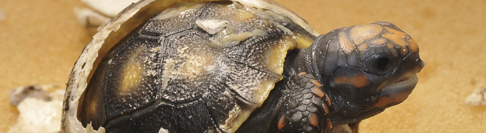 Rotfuß-Schildkröte schlüpft aus dem Ei