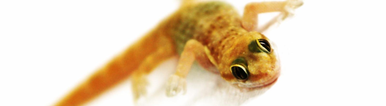 Ein Gecko in Lauerstellung
