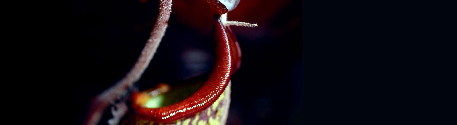 Die Trichteröffnung der Kannenpflanze