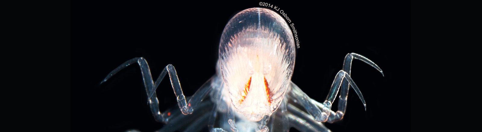 Der Flohkrebs Paraphronima gracilis mit den beiden orangefarbenen Netzhautreihen im Vergleich zur gesamten Kopfgröße
