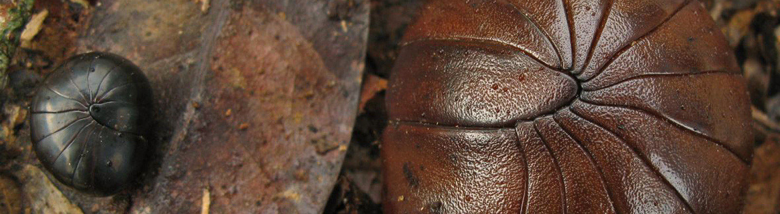 Ein kleiner, schwarzer Riesenkugeltausendfüßler liegt rechts neben einem größeren, braunen. Beide sind eingerollt.