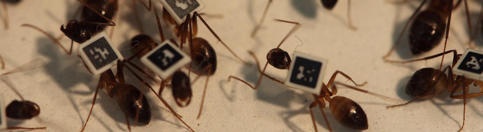 Camponotus fellah mit QR-Code auf dem Rücken