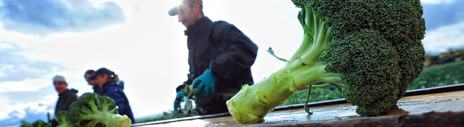 Saisonarbeiter ernten am Dienstag (19.10.2010) Broccoli auf einem Feld bei Ronnenberg (Region Hannover).