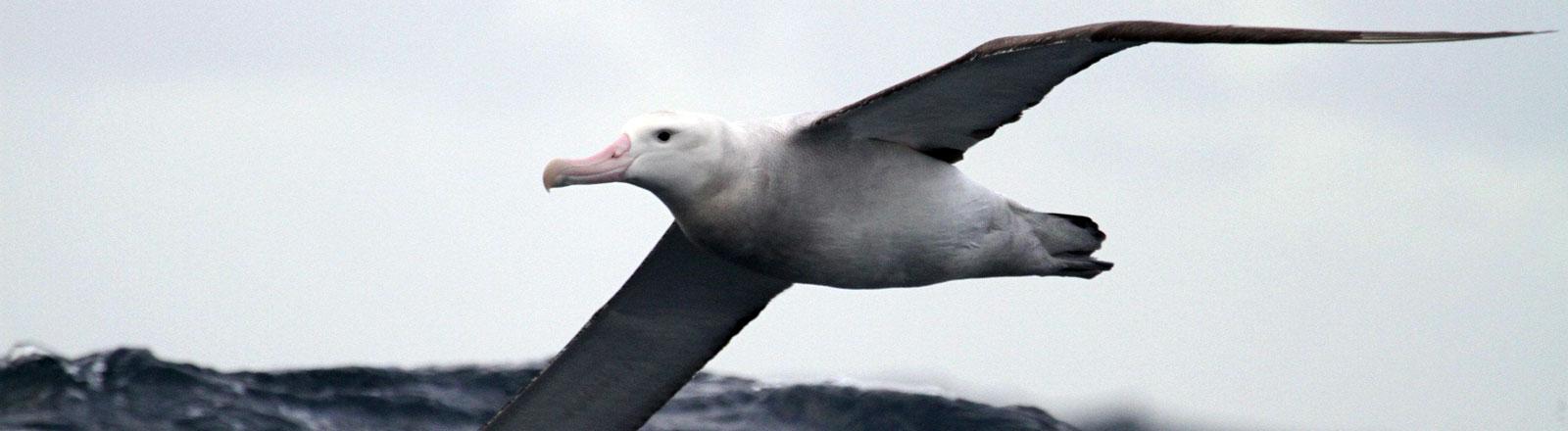 Wanderalbatrosse sind die größten flugfähigen Vögel und sehr treu.