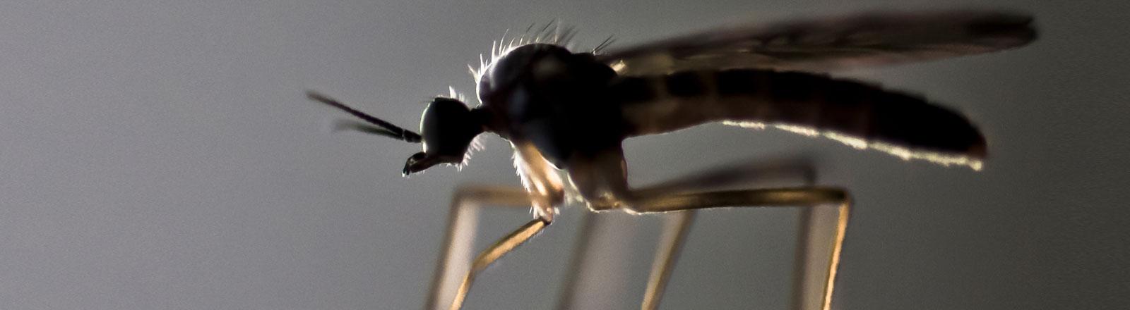 Eine Stechmücke