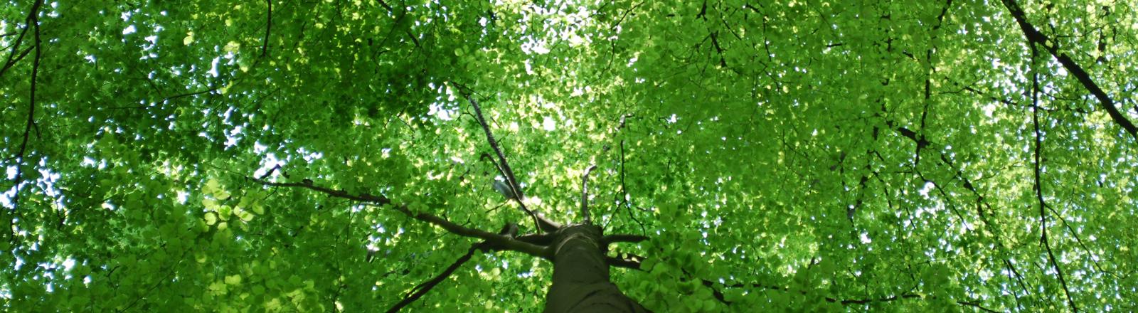 Buche im Naturwald