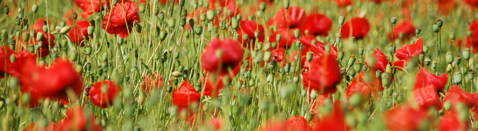 Ein Mohnblumenfeld