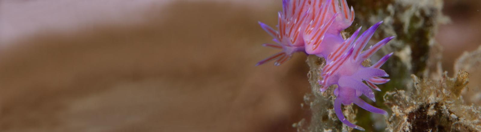 Eine Violette Fadenschnecke