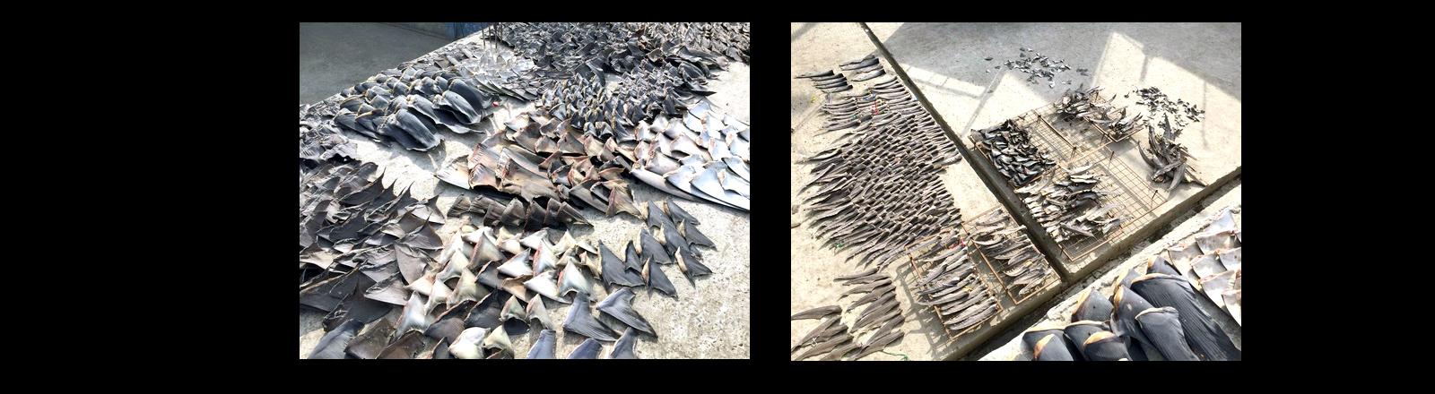 Auf dem Foto sind unzählige Haifischflossen zu erkennen.