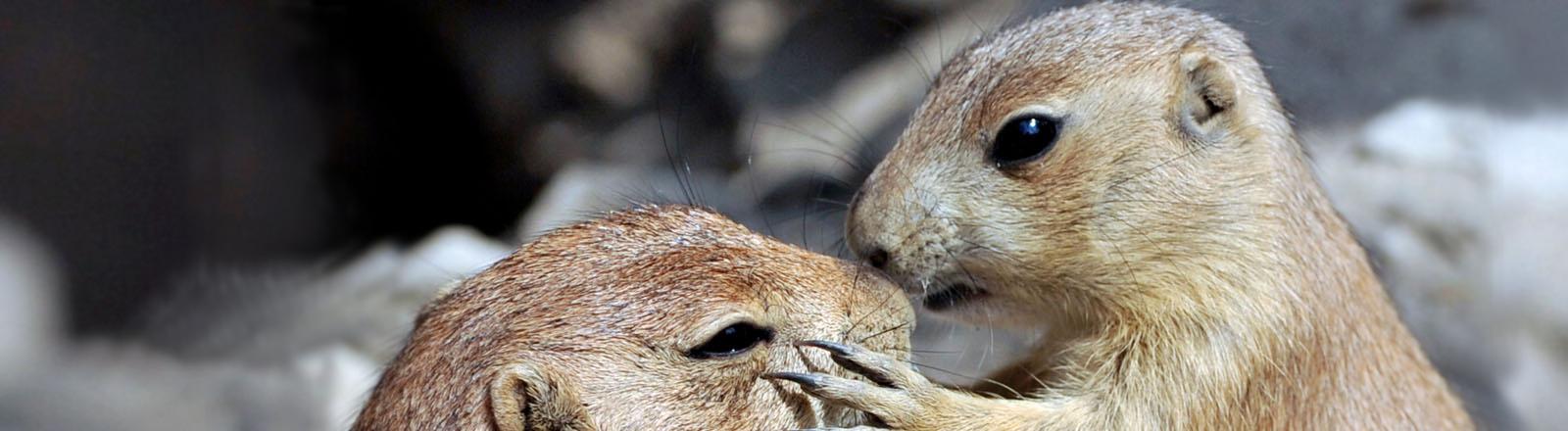 Ein kleiner Präriehund tätschelt im Zoo Hannover einem erwachsenen Tier die Schnauze.