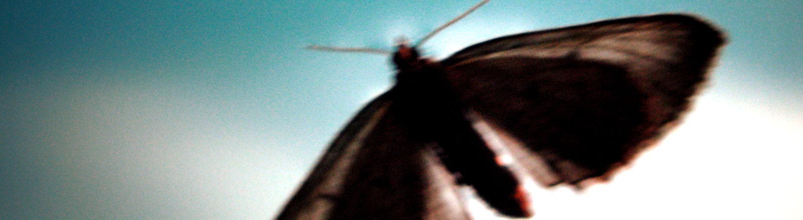 Eine Motte fliegt.
