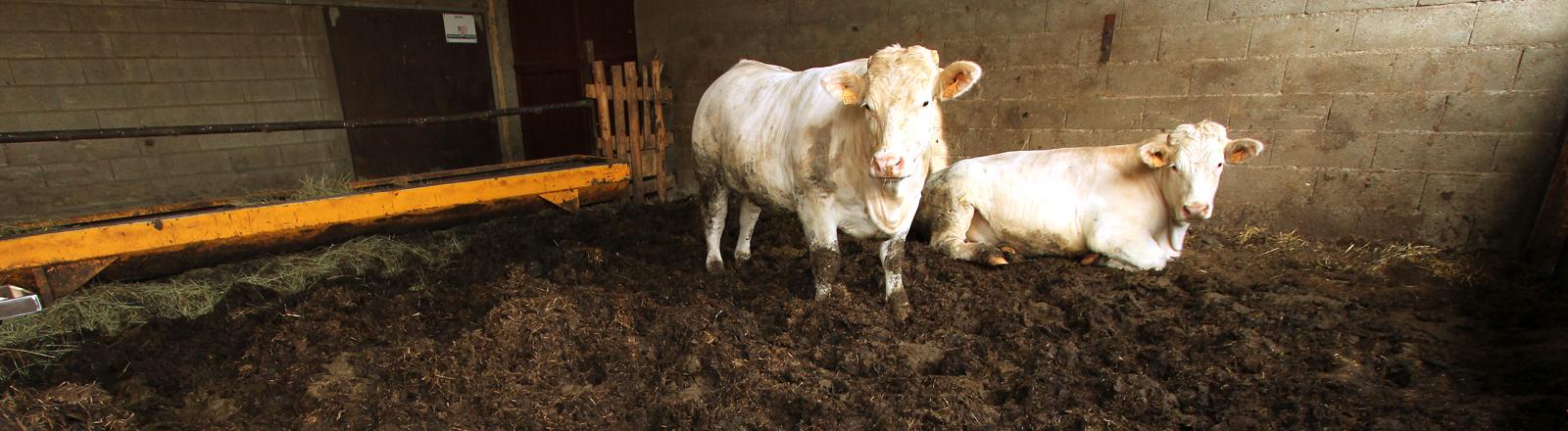 Zwei Kühe in einem Stall.