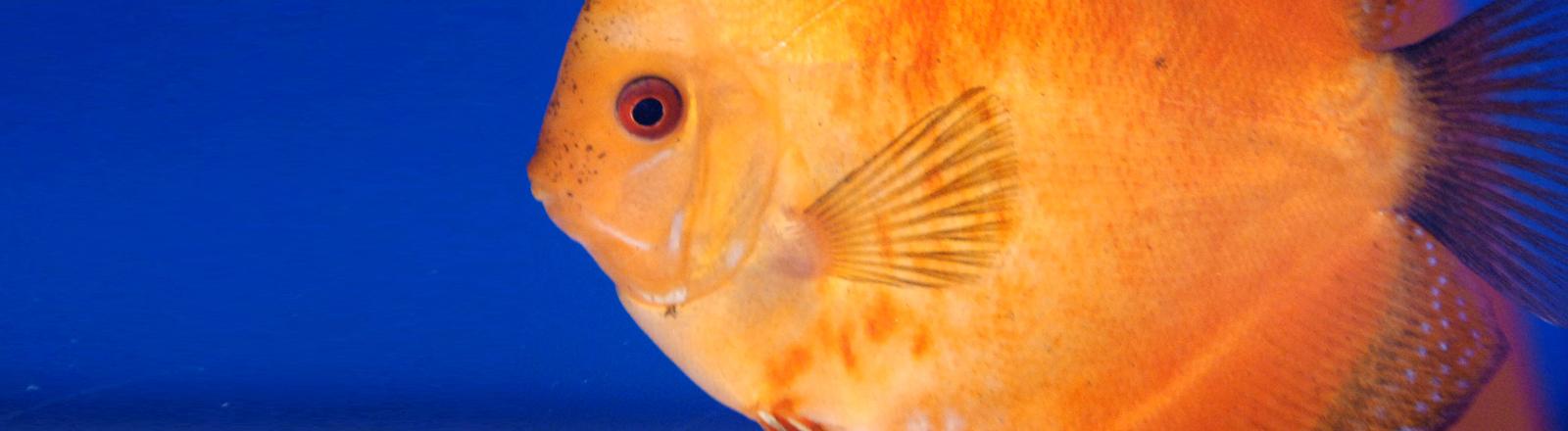 Der Diskusfisch wird 12 bis 20 Zentimeter groß.