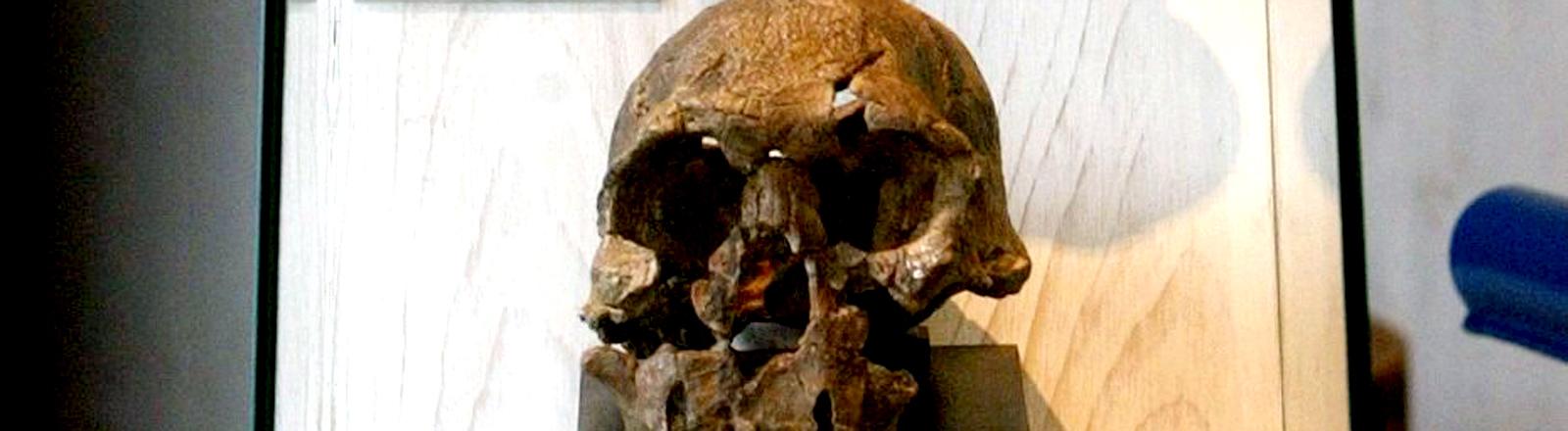 Schädel des Homo rudolfensis im Neanderthal-Museum in Mettmann