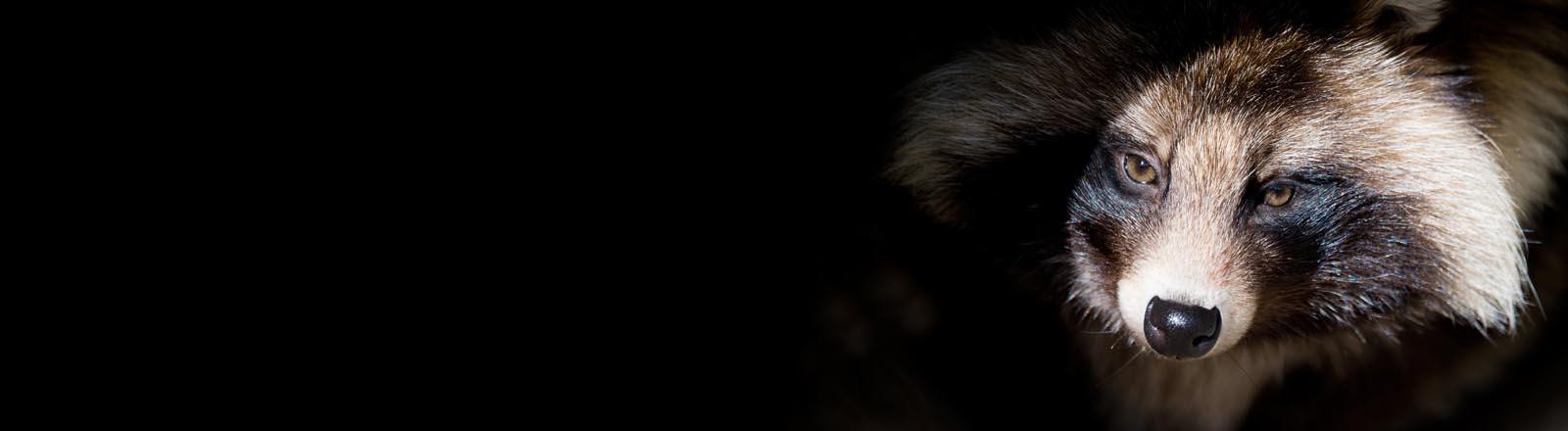 Ein Marderhund (Nyctereutes procyonoides) sitzt am 06.02.2014 im Wisentgehege in Springe (Niedersachsen). Waschbären und Marderhunde breiten sich in Deutschland immer weiter aus.