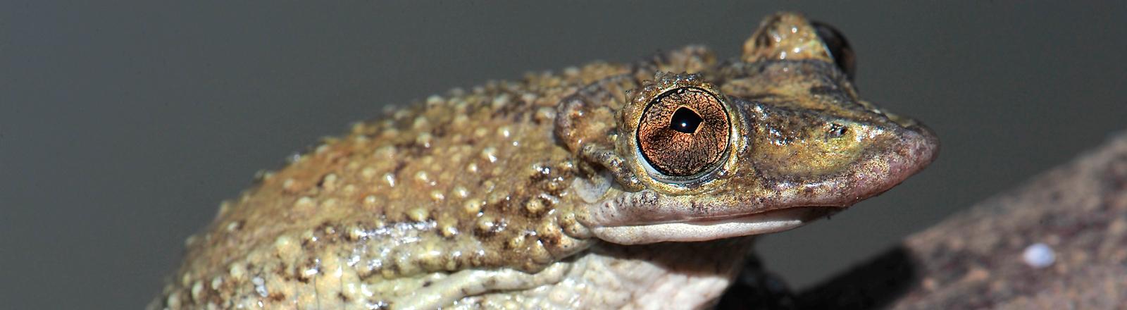 Der Corythomantis greeningi besitzt giftige Stacheln am Schädel.