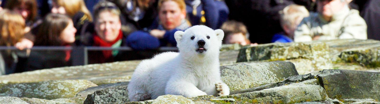 Eisbär Knut im Berliner Zoo.