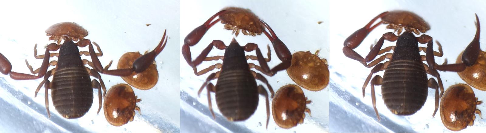Ein Büchereiskorpion schnappt sich Varroamilben. Knabbert ihre Körperwand auf und saugt sie dann aus.