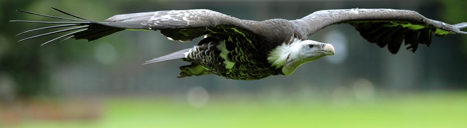 Der Sperbergeier Vitali fliegt am 26.06.2013 während einer Flugschau über die Köpfe von Besuchern im Weltvogelpark Walsrode (Niedersachsen).