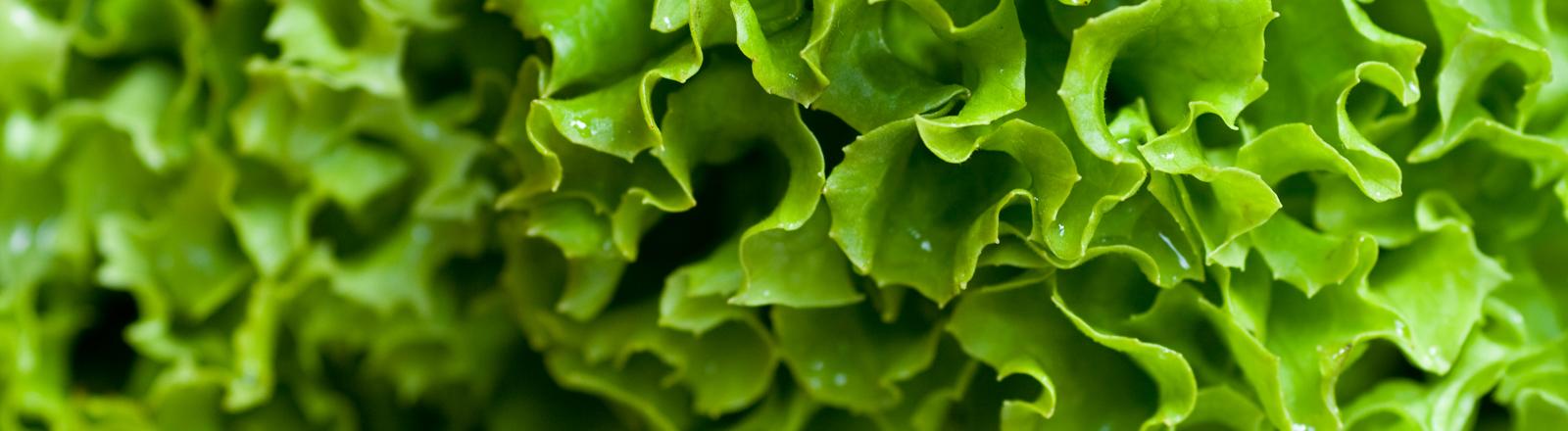 Salat. Grün, frisch, lecker, gesund.