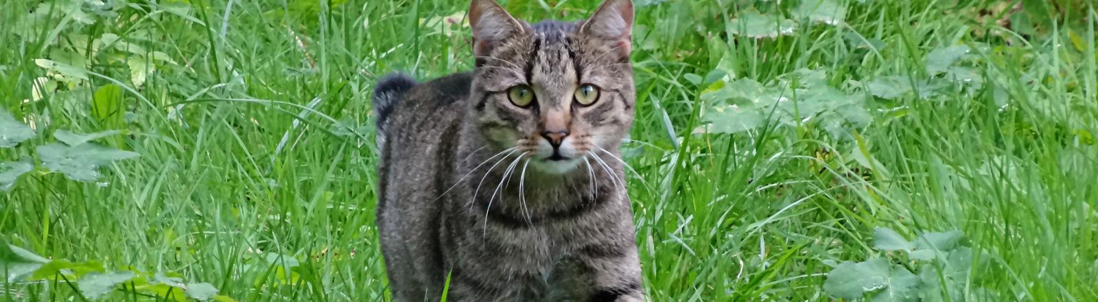 Eine verwilderte Katze in Berlin